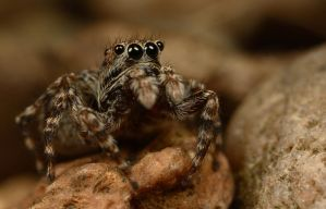Jumping Spider 7 by Alliec