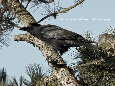 crow 21 by peroni68