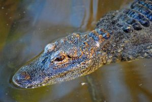 Chinese alligator by fosspathei