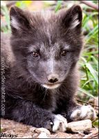 Baby fox :-) by woxys