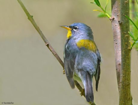 Northern Parula by TerribleTer