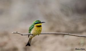 Little Bee Eater by AnneMarks