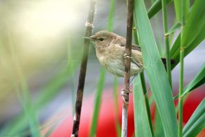 Marsh Warbler by robbobert