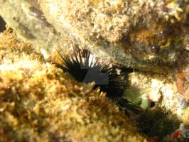 ROPanama Research: Urchin by Namyr