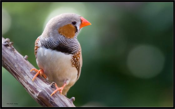 zebra finch by kodo34