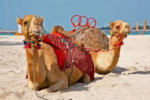 Relaxin Camels by LeighWhittaker