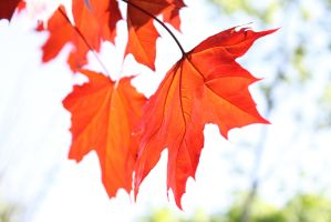 Red leaf by frimmi