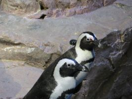 African Penguin Stock 6824 by sUpErWoLf--StOcK