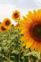 Flower of the Sun 2 by adrumo