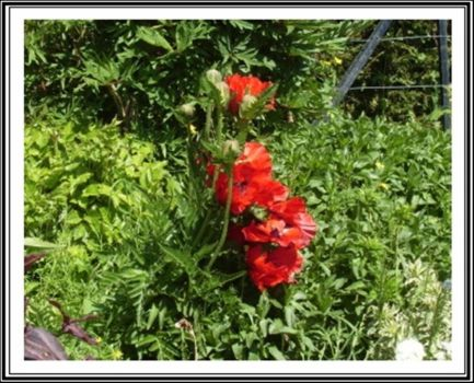 Red flowers by Iuliaq