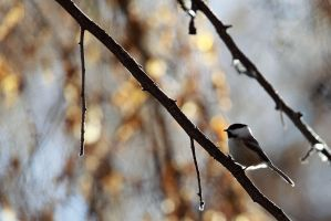 Black Capped Chickadee by Iamidaho