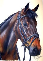 warmblood drawing by lalabellexx