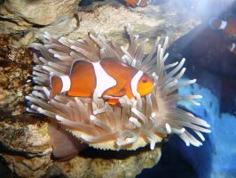 Clown Fish by Confussed-Stock