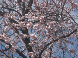 Bloomin Apricot Tree 2 by SquirrelWitch