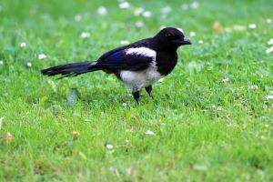 Juvenile magpie II by pagan-live-style