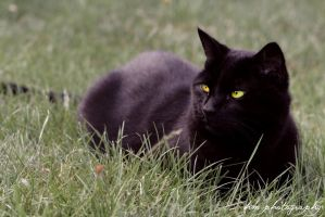 Raunds Cat by Hanwombat