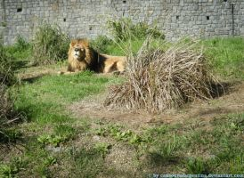 Lion I by Cansounofargentina