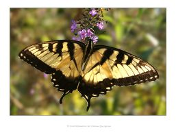 Butterfly by ideastep