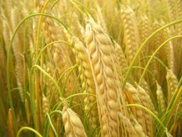 Wheat. by HaanaArt