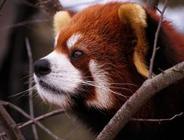 Red Panda Stock 4 by HOTNStock