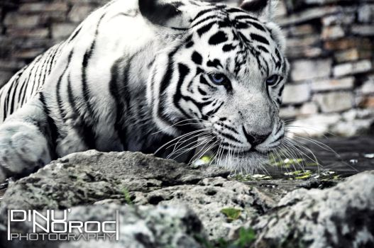 White tiger... by Clickbrush