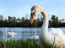 Curious swan by spns