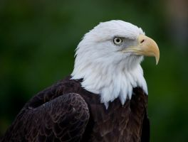 Bald Eagle by deseonocturno