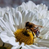 Honeybee by JuliaGeisler