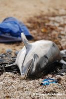 Conservation, dolphin - please read, share, esp UK by dea1h