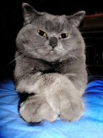 My  little british shorthair by Flore-stock