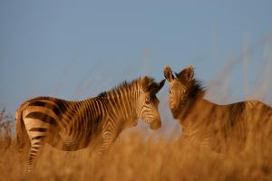 Zebras in the Brush by go-octopus-kitty-42