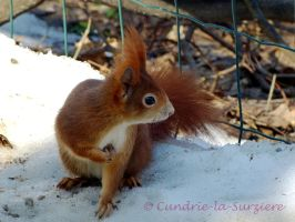 Squirrel 34 by Cundrie-la-Surziere