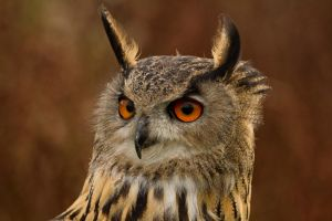 Eagle Owl by mansaards