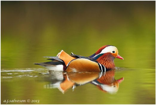 Male Mandarin. by andy-j-s
