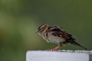 Wet sparrow by forgottenson1