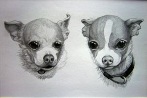 chihuahuas by UndeterminedBreed