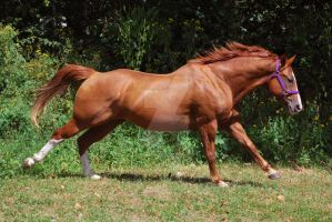 Gaited quarter horse galloping extended by slime-stock