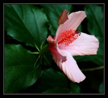 Hibiscus II by FilipaGrilo