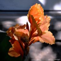 Fleur de Cana en Orange I_sign by hyneige