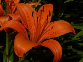 Bursting Orange by Silver-Dew-Drop