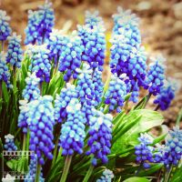 Day 109: Grape Hyacinth by poserfan-pholio