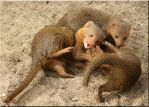 Dwarf mongooses playing by Ryoo-09