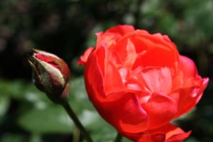 Roses are Red by willgzhou