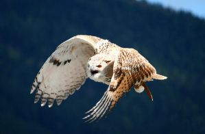 owl in flight 2 by Kristinaphoto