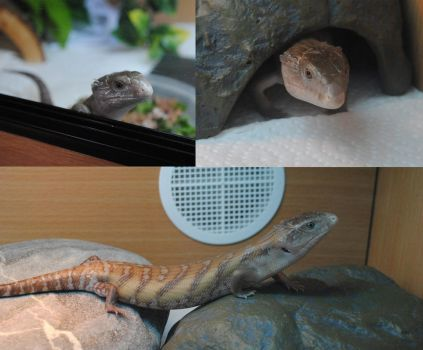 Rusty the blue tongued skink by TPceebee