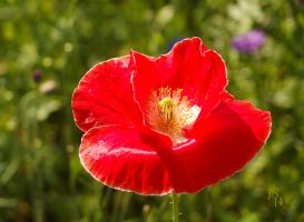 Outlined Poppy by JoannaMoory