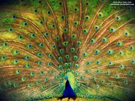Pavo Real by claracosta