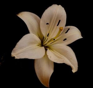 Antique Lily by Finnyanne