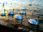 Swans On The Prom by Nigel-Hirst