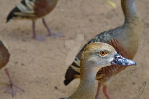 Wandering Whistling-duck by SGreavesPhotography